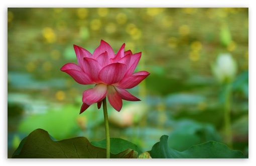 Lotus 5K ❤ 4K UHD Wallpaper for Wide 16:10 5:3 Widescreen WHXGA WQXGA WUXGA WXGA WGA ; UltraWide 21:9 24:10 ; 4K UHD 16:9 Ultra High Definition 2160p 1440p 1080p 900p 720p ; UHD 16:9 2160p 1440p 1080p 900p 720p ; Standard 4:3 5:4 3:2 Fullscreen UXGA XGA SVGA QSXGA SXGA DVGA HVGA HQVGA ( Apple PowerBook G4 iPhone 4 3G 3GS iPod Touch ) ; Smartphone 16:9 3:2 5:3 2160p 1440p 1080p 900p 720p DVGA HVGA HQVGA ( Apple PowerBook G4 iPhone 4 3G 3GS iPod Touch ) WGA ; Tablet 1:1 ; iPad 1/2/Mini ; Mobile 4:3 5:3 3:2 16:9 5:4 - UXGA XGA SVGA WGA DVGA HVGA HQVGA ( Apple PowerBook G4 iPhone 4 3G 3GS iPod Touch ) 2160p 1440p 1080p 900p 720p QSXGA SXGA ; Dual 16:10 5:3 16:9 4:3 5:4 3:2 WHXGA WQXGA WUXGA WXGA WGA 2160p 1440p 1080p 900p 720p UXGA XGA SVGA QSXGA SXGA DVGA HVGA HQVGA ( Apple PowerBook G4 iPhone 4 3G 3GS iPod Touch ) ;