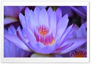 Lotus HD Wide Wallpaper for Widescreen
