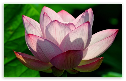 Lotus Flower HD wallpaper for Wide 16:10 5:3 Widescreen WHXGA WQXGA WUXGA WXGA WGA ; HD 16:9 High Definition WQHD QWXGA 1080p 900p 720p QHD nHD ; UHD 16:9 WQHD QWXGA 1080p 900p 720p QHD nHD ; Standard 4:3 5:4 3:2 Fullscreen UXGA XGA SVGA QSXGA SXGA DVGA HVGA HQVGA devices ( Apple PowerBook G4 iPhone 4 3G 3GS iPod Touch ) ; Tablet 1:1 ; iPad 1/2/Mini ; Mobile 4:3 5:3 3:2 16:9 5:4 - UXGA XGA SVGA WGA DVGA HVGA HQVGA devices ( Apple PowerBook G4 iPhone 4 3G 3GS iPod Touch ) WQHD QWXGA 1080p 900p 720p QHD nHD QSXGA SXGA ; Dual 16:10 5:3 16:9 4:3 5:4 WHXGA WQXGA WUXGA WXGA WGA WQHD QWXGA 1080p 900p 720p QHD nHD UXGA XGA SVGA QSXGA SXGA ;