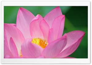 Lotus Flower HD Wide Wallpaper for 4K UHD Widescreen desktop & smartphone