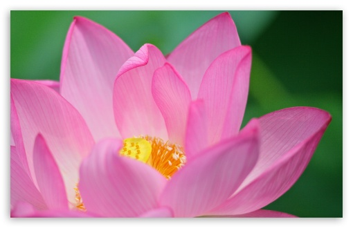 Lotus Flower ❤ 4K UHD Wallpaper for Wide 16:10 5:3 Widescreen WHXGA WQXGA WUXGA WXGA WGA ; 4K UHD 16:9 Ultra High Definition 2160p 1440p 1080p 900p 720p ; UHD 16:9 2160p 1440p 1080p 900p 720p ; Standard 4:3 5:4 3:2 Fullscreen UXGA XGA SVGA QSXGA SXGA DVGA HVGA HQVGA ( Apple PowerBook G4 iPhone 4 3G 3GS iPod Touch ) ; Smartphone 5:3 WGA ; Tablet 1:1 ; iPad 1/2/Mini ; Mobile 4:3 5:3 3:2 16:9 5:4 - UXGA XGA SVGA WGA DVGA HVGA HQVGA ( Apple PowerBook G4 iPhone 4 3G 3GS iPod Touch ) 2160p 1440p 1080p 900p 720p QSXGA SXGA ;