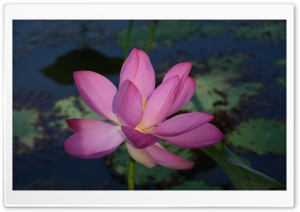 Lotus Flower Ultra HD Wallpaper for 4K UHD Widescreen desktop, tablet & smartphone