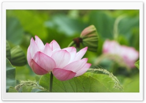 Lotus Flower Blooming HD Wide Wallpaper for 4K UHD Widescreen desktop & smartphone