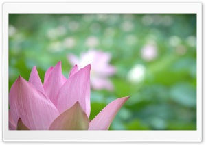 Lotus Flower Close-up HD Wide Wallpaper for Widescreen