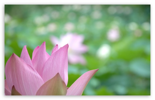 Lotus Flower Close-up ❤ 4K UHD Wallpaper for Wide 16:10 5:3 Widescreen WHXGA WQXGA WUXGA WXGA WGA ; 4K UHD 16:9 Ultra High Definition 2160p 1440p 1080p 900p 720p ; UHD 16:9 2160p 1440p 1080p 900p 720p ; Standard 4:3 5:4 3:2 Fullscreen UXGA XGA SVGA QSXGA SXGA DVGA HVGA HQVGA ( Apple PowerBook G4 iPhone 4 3G 3GS iPod Touch ) ; Tablet 1:1 ; iPad 1/2/Mini ; Mobile 4:3 5:3 3:2 16:9 5:4 - UXGA XGA SVGA WGA DVGA HVGA HQVGA ( Apple PowerBook G4 iPhone 4 3G 3GS iPod Touch ) 2160p 1440p 1080p 900p 720p QSXGA SXGA ;