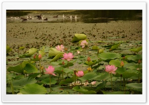 Lotus Flowers HD Wide Wallpaper for Widescreen