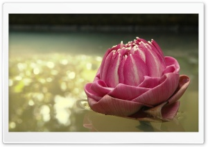 Lotus Thailand HD Wide Wallpaper for Widescreen