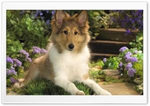 Lounging Sheltie Puppy HD Wide Wallpaper for 4K UHD Widescreen desktop & smartphone