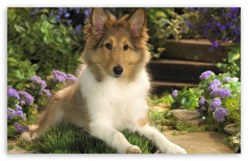Lounging Sheltie Puppy ❤ 4K UHD Wallpaper for Wide 16:10 5:3 Widescreen WHXGA WQXGA WUXGA WXGA WGA ; 4K UHD 16:9 Ultra High Definition 2160p 1440p 1080p 900p 720p ; Standard 4:3 5:4 3:2 Fullscreen UXGA XGA SVGA QSXGA SXGA DVGA HVGA HQVGA ( Apple PowerBook G4 iPhone 4 3G 3GS iPod Touch ) ; iPad 1/2/Mini ; Mobile 4:3 5:3 3:2 16:9 5:4 - UXGA XGA SVGA WGA DVGA HVGA HQVGA ( Apple PowerBook G4 iPhone 4 3G 3GS iPod Touch ) 2160p 1440p 1080p 900p 720p QSXGA SXGA ;
