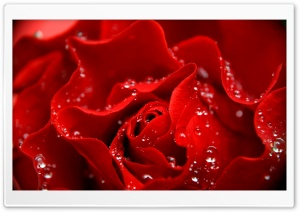 Love is Like a Red Rose HD Wide Wallpaper for Widescreen