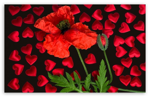 Love Poppy Flower UltraHD Wallpaper for Wide 16:10 5:3 Widescreen WHXGA WQXGA WUXGA WXGA WGA ; UltraWide 21:9 24:10 ; 8K UHD TV 16:9 Ultra High Definition 2160p 1440p 1080p 900p 720p ; UHD 16:9 2160p 1440p 1080p 900p 720p ; Standard 4:3 5:4 3:2 Fullscreen UXGA XGA SVGA QSXGA SXGA DVGA HVGA HQVGA ( Apple PowerBook G4 iPhone 4 3G 3GS iPod Touch ) ; Smartphone 16:9 3:2 5:3 2160p 1440p 1080p 900p 720p DVGA HVGA HQVGA ( Apple PowerBook G4 iPhone 4 3G 3GS iPod Touch ) WGA ; Tablet 1:1 ; iPad 1/2/Mini ; Mobile 4:3 5:3 3:2 16:9 5:4 - UXGA XGA SVGA WGA DVGA HVGA HQVGA ( Apple PowerBook G4 iPhone 4 3G 3GS iPod Touch ) 2160p 1440p 1080p 900p 720p QSXGA SXGA ; Dual 5:4 QSXGA SXGA ;