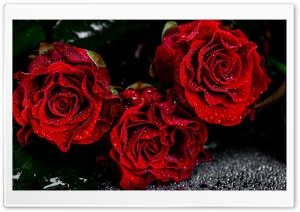 Love Red Roses HD Wide Wallpaper for Widescreen