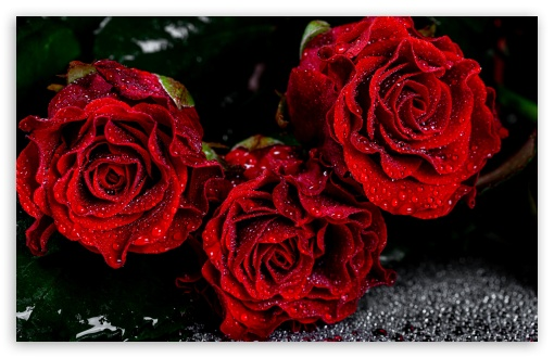 Love Red Roses UltraHD Wallpaper for Wide 16:10 5:3 Widescreen WHXGA WQXGA WUXGA WXGA WGA ; UltraWide 21:9 24:10 ; 8K UHD TV 16:9 Ultra High Definition 2160p 1440p 1080p 900p 720p ; UHD 16:9 2160p 1440p 1080p 900p 720p ; Standard 4:3 5:4 3:2 Fullscreen UXGA XGA SVGA QSXGA SXGA DVGA HVGA HQVGA ( Apple PowerBook G4 iPhone 4 3G 3GS iPod Touch ) ; Smartphone 16:9 3:2 5:3 2160p 1440p 1080p 900p 720p DVGA HVGA HQVGA ( Apple PowerBook G4 iPhone 4 3G 3GS iPod Touch ) WGA ; iPad 1/2/Mini ; Mobile 4:3 5:3 3:2 16:9 5:4 - UXGA XGA SVGA WGA DVGA HVGA HQVGA ( Apple PowerBook G4 iPhone 4 3G 3GS iPod Touch ) 2160p 1440p 1080p 900p 720p QSXGA SXGA ;