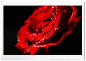 Love Rose HD Wide Wallpaper for Widescreen