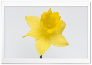 Lovely Daffodil Flower HD Wide Wallpaper for Widescreen