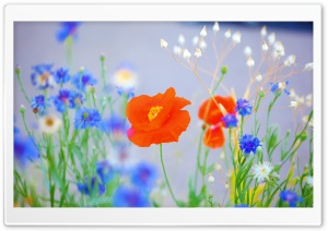 Lovely Poppy HD Wide Wallpaper for Widescreen