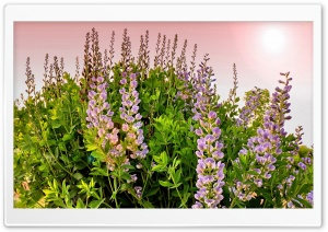 Lupines Flowers HD Wide Wallpaper for Widescreen