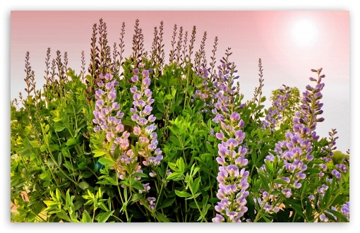 Lupines Flowers ❤ 4K UHD Wallpaper for Wide 16:10 5:3 Widescreen WHXGA WQXGA WUXGA WXGA WGA ; 4K UHD 16:9 Ultra High Definition 2160p 1440p 1080p 900p 720p ; Standard 4:3 5:4 3:2 Fullscreen UXGA XGA SVGA QSXGA SXGA DVGA HVGA HQVGA ( Apple PowerBook G4 iPhone 4 3G 3GS iPod Touch ) ; Smartphone 5:3 WGA ; Tablet 1:1 ; iPad 1/2/Mini ; Mobile 4:3 5:3 3:2 16:9 5:4 - UXGA XGA SVGA WGA DVGA HVGA HQVGA ( Apple PowerBook G4 iPhone 4 3G 3GS iPod Touch ) 2160p 1440p 1080p 900p 720p QSXGA SXGA ; Dual 16:10 5:3 16:9 4:3 5:4 WHXGA WQXGA WUXGA WXGA WGA 2160p 1440p 1080p 900p 720p UXGA XGA SVGA QSXGA SXGA ;