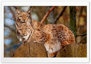 Lynx Animals HD Wide Wallpaper for 4K UHD Widescreen desktop & smartphone