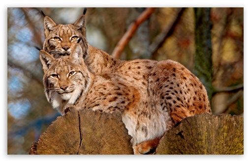 Lynx Animals HD wallpaper for Wide 16:10 5:3 Widescreen WHXGA WQXGA WUXGA WXGA WGA ; HD 16:9 High Definition WQHD QWXGA 1080p 900p 720p QHD nHD ; Standard 4:3 5:4 3:2 Fullscreen UXGA XGA SVGA QSXGA SXGA DVGA HVGA HQVGA devices ( Apple PowerBook G4 iPhone 4 3G 3GS iPod Touch ) ; iPad 1/2/Mini ; Mobile 4:3 5:3 3:2 16:9 5:4 - UXGA XGA SVGA WGA DVGA HVGA HQVGA devices ( Apple PowerBook G4 iPhone 4 3G 3GS iPod Touch ) WQHD QWXGA 1080p 900p 720p QHD nHD QSXGA SXGA ;