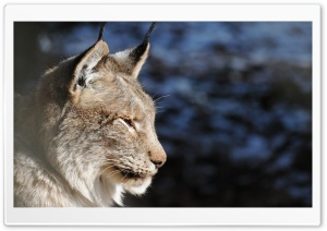 Lynx Profile HD Wide Wallpaper for 4K UHD Widescreen desktop & smartphone