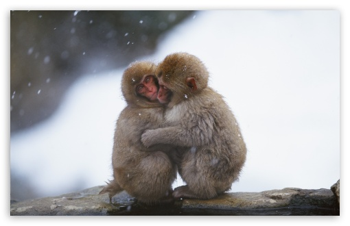Macaques Hug HD wallpaper for Wide 16:10 5:3 Widescreen WHXGA WQXGA WUXGA WXGA WGA ; HD 16:9 High Definition WQHD QWXGA 1080p 900p 720p QHD nHD ; Standard 4:3 5:4 3:2 Fullscreen UXGA XGA SVGA QSXGA SXGA DVGA HVGA HQVGA devices ( Apple PowerBook G4 iPhone 4 3G 3GS iPod Touch ) ; Tablet 1:1 ; iPad 1/2/Mini ; Mobile 4:3 5:3 3:2 16:9 5:4 - UXGA XGA SVGA WGA DVGA HVGA HQVGA devices ( Apple PowerBook G4 iPhone 4 3G 3GS iPod Touch ) WQHD QWXGA 1080p 900p 720p QHD nHD QSXGA SXGA ;