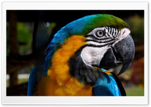 Macaw HD Wide Wallpaper for 4K UHD Widescreen desktop & smartphone