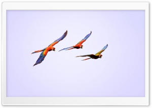 Macaw Parrots Flying HD Wide Wallpaper for Widescreen
