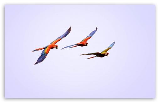 Macaw Parrots Flying ❤ 4K UHD Wallpaper for Wide 16:10 5:3 Widescreen WHXGA WQXGA WUXGA WXGA WGA ; UltraWide 21:9 24:10 ; 4K UHD 16:9 Ultra High Definition 2160p 1440p 1080p 900p 720p ; UHD 16:9 2160p 1440p 1080p 900p 720p ; Standard 4:3 5:4 3:2 Fullscreen UXGA XGA SVGA QSXGA SXGA DVGA HVGA HQVGA ( Apple PowerBook G4 iPhone 4 3G 3GS iPod Touch ) ; Tablet 1:1 ; iPad 1/2/Mini ; Mobile 4:3 5:3 3:2 16:9 5:4 - UXGA XGA SVGA WGA DVGA HVGA HQVGA ( Apple PowerBook G4 iPhone 4 3G 3GS iPod Touch ) 2160p 1440p 1080p 900p 720p QSXGA SXGA ;
