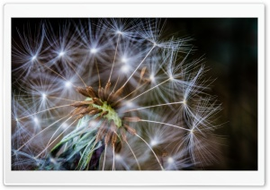 Macro Dandelion HD Wide Wallpaper for 4K UHD Widescreen desktop & smartphone