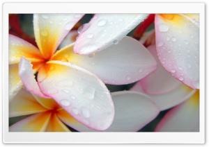 Macro Drops Beautiful Flower Ultra HD Wallpaper for 4K UHD Widescreen desktop, tablet & smartphone