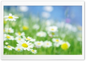 Macro In Daisies Field HD Wide Wallpaper for Widescreen
