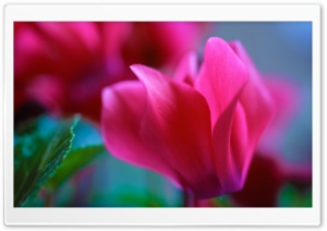 Macro Pink Flower HD Wide Wallpaper for Widescreen