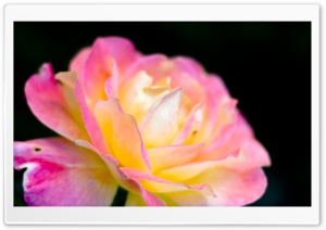 Macro Pink Rose HD Wide Wallpaper for Widescreen
