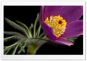 Macro Purple Flower HD Wide Wallpaper for Widescreen