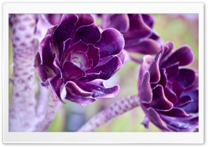 Macro Purple Flowers HD Wide Wallpaper for Widescreen