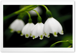 Macro Snowdrops HD Wide Wallpaper for Widescreen