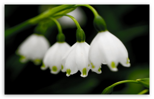 Macro Snowdrops ❤ 4K UHD Wallpaper for Wide 16:10 5:3 Widescreen WHXGA WQXGA WUXGA WXGA WGA ; 4K UHD 16:9 Ultra High Definition 2160p 1440p 1080p 900p 720p ; Standard 4:3 5:4 3:2 Fullscreen UXGA XGA SVGA QSXGA SXGA DVGA HVGA HQVGA ( Apple PowerBook G4 iPhone 4 3G 3GS iPod Touch ) ; Tablet 1:1 ; iPad 1/2/Mini ; Mobile 4:3 5:3 3:2 16:9 5:4 - UXGA XGA SVGA WGA DVGA HVGA HQVGA ( Apple PowerBook G4 iPhone 4 3G 3GS iPod Touch ) 2160p 1440p 1080p 900p 720p QSXGA SXGA ;