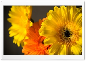 Macro Yellow Flowers Petals Ultra HD Wallpaper for 4K UHD Widescreen desktop, tablet & smartphone