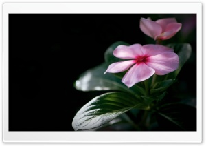 Madagascar Periwinkle HD Wide Wallpaper for Widescreen