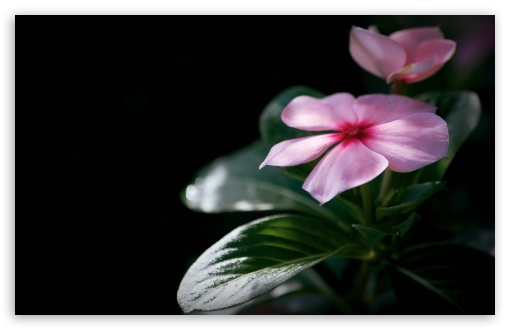 Madagascar Periwinkle ❤ 4K UHD Wallpaper for Wide 16:10 5:3 Widescreen WHXGA WQXGA WUXGA WXGA WGA ; 4K UHD 16:9 Ultra High Definition 2160p 1440p 1080p 900p 720p ; Standard 4:3 5:4 3:2 Fullscreen UXGA XGA SVGA QSXGA SXGA DVGA HVGA HQVGA ( Apple PowerBook G4 iPhone 4 3G 3GS iPod Touch ) ; Smartphone 5:3 WGA ; Tablet 1:1 ; iPad 1/2/Mini ; Mobile 4:3 5:3 3:2 16:9 5:4 - UXGA XGA SVGA WGA DVGA HVGA HQVGA ( Apple PowerBook G4 iPhone 4 3G 3GS iPod Touch ) 2160p 1440p 1080p 900p 720p QSXGA SXGA ;
