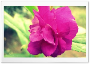 Magenta Flower HD Wide Wallpaper for Widescreen