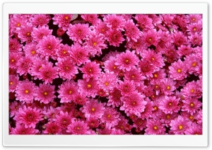 Magenta Mums HD Wide Wallpaper for Widescreen