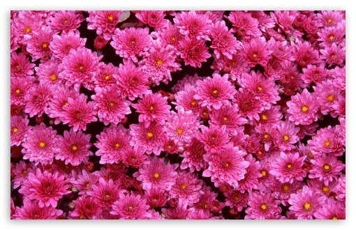 Magenta Mums ❤ 4K UHD Wallpaper for Wide 16:10 5:3 Widescreen WHXGA WQXGA WUXGA WXGA WGA ; 4K UHD 16:9 Ultra High Definition 2160p 1440p 1080p 900p 720p ; Standard 4:3 5:4 3:2 Fullscreen UXGA XGA SVGA QSXGA SXGA DVGA HVGA HQVGA ( Apple PowerBook G4 iPhone 4 3G 3GS iPod Touch ) ; Tablet 1:1 ; iPad 1/2/Mini ; Mobile 4:3 5:3 3:2 16:9 5:4 - UXGA XGA SVGA WGA DVGA HVGA HQVGA ( Apple PowerBook G4 iPhone 4 3G 3GS iPod Touch ) 2160p 1440p 1080p 900p 720p QSXGA SXGA ;