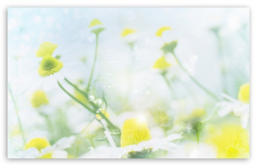 Magic Chamomile HD wallpaper for Wide 16:10 5:3 Widescreen WHXGA WQXGA WUXGA WXGA WGA ; HD 16:9 High Definition WQHD QWXGA 1080p 900p 720p QHD nHD ; Standard 4:3 5:4 3:2 Fullscreen UXGA XGA SVGA QSXGA SXGA DVGA HVGA HQVGA devices ( Apple PowerBook G4 iPhone 4 3G 3GS iPod Touch ) ; iPad 1/2/Mini ; Mobile 4:3 5:3 3:2 16:9 5:4 - UXGA XGA SVGA WGA DVGA HVGA HQVGA devices ( Apple PowerBook G4 iPhone 4 3G 3GS iPod Touch ) WQHD QWXGA 1080p 900p 720p QHD nHD QSXGA SXGA ;
