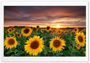 Magic Landscape Sunflower Garden Background HD Wide Wallpaper for Widescreen