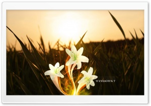 Magic Lily   Windows 7 HD Wide Wallpaper for 4K UHD Widescreen desktop & smartphone
