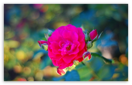 Magical Rose ❤ 4K UHD Wallpaper for Wide 16:10 5:3 Widescreen WHXGA WQXGA WUXGA WXGA WGA ; 4K UHD 16:9 Ultra High Definition 2160p 1440p 1080p 900p 720p ; UHD 16:9 2160p 1440p 1080p 900p 720p ; Standard 4:3 5:4 3:2 Fullscreen UXGA XGA SVGA QSXGA SXGA DVGA HVGA HQVGA ( Apple PowerBook G4 iPhone 4 3G 3GS iPod Touch ) ; Smartphone 5:3 WGA ; Tablet 1:1 ; iPad 1/2/Mini ; Mobile 4:3 5:3 3:2 16:9 5:4 - UXGA XGA SVGA WGA DVGA HVGA HQVGA ( Apple PowerBook G4 iPhone 4 3G 3GS iPod Touch ) 2160p 1440p 1080p 900p 720p QSXGA SXGA ;