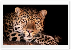 Magnificent Leopard HD Wide Wallpaper for Widescreen