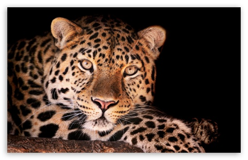 Magnificent Leopard UltraHD Wallpaper for Wide 16:10 5:3 Widescreen WHXGA WQXGA WUXGA WXGA WGA ; 8K UHD TV 16:9 Ultra High Definition 2160p 1440p 1080p 900p 720p ; UHD 16:9 2160p 1440p 1080p 900p 720p ; Standard 4:3 5:4 3:2 Fullscreen UXGA XGA SVGA QSXGA SXGA DVGA HVGA HQVGA ( Apple PowerBook G4 iPhone 4 3G 3GS iPod Touch ) ; Tablet 1:1 ; iPad 1/2/Mini ; Mobile 4:3 5:3 3:2 16:9 5:4 - UXGA XGA SVGA WGA DVGA HVGA HQVGA ( Apple PowerBook G4 iPhone 4 3G 3GS iPod Touch ) 2160p 1440p 1080p 900p 720p QSXGA SXGA ;